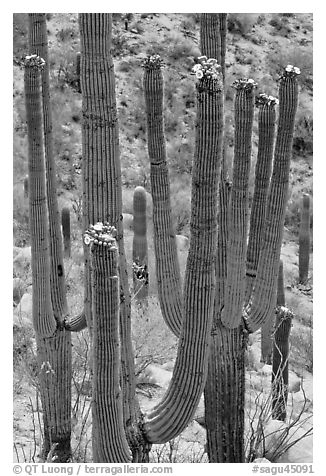 Saguarao arms topped by creamy white flowers. Saguaro National Park (black and white)