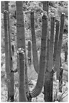Saguarao arms topped by creamy white flowers. Saguaro National Park ( black and white)