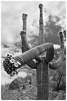 Giant saguaro cactus with flowers on curving arm. Saguaro National Park, Arizona, USA. (black and white)
