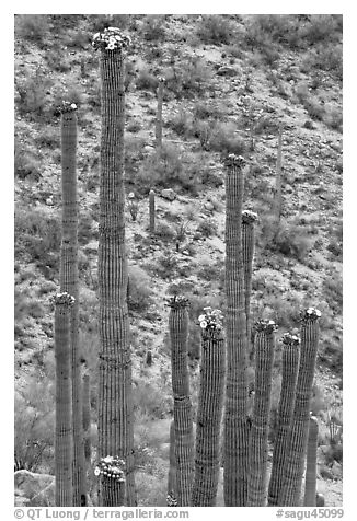 Tops of saguaro cactus with blooms. Saguaro National Park (black and white)