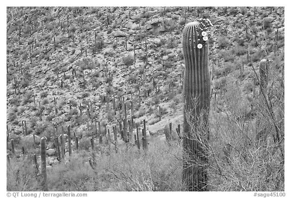 Palo Verde and saguaro with flowers. Saguaro National Park (black and white)