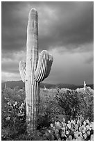Saguaro cactus and stormy skies, Rincon Mountain District. Saguaro National Park ( black and white)