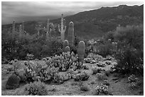 Cactus and cloudy Rincon Mountains, Rincon Mountain District. Saguaro National Park ( black and white)