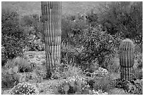 Desert wildflowers and cacti, Rincon Mountain District. Saguaro National Park ( black and white)