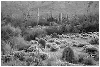 Carpet of Desert Zinnia flowers in lush desert landscape, Rincon Mountain District. Saguaro National Park ( black and white)