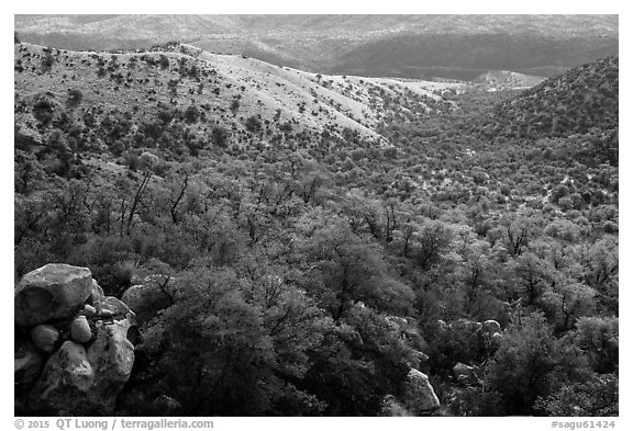 Chaparral and oaks along Miller Creek, Rincon Mountain District. Saguaro National Park (black and white)