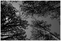 Looking up pine trees, Happy Valley, Rincon Mountain District. Saguaro National Park ( black and white)