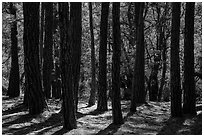Pine trees, Happy Valley, Rincon Mountain District. Saguaro National Park ( black and white)