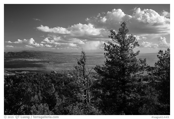 Pine trees and afternoon clouds from Rincon Peak. Saguaro National Park (black and white)