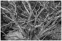 Juniper, Rincon Mountain District. Saguaro National Park ( black and white)