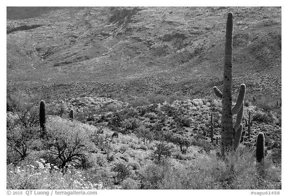 Cactus and brittlebush in bloom, Rincon Mountain District. Saguaro National Park (black and white)
