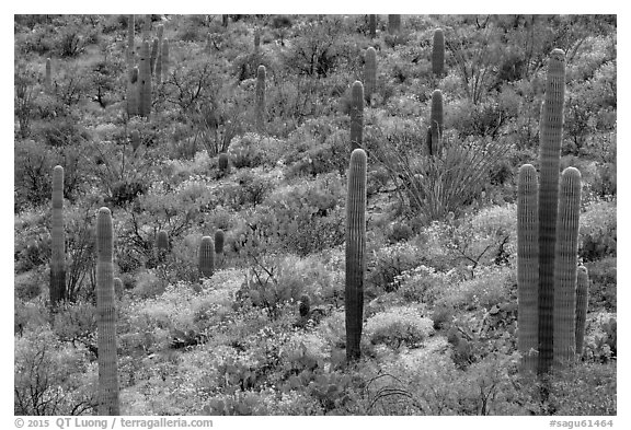 Saguaro cacti and brittlebush in bloom, Rincon Mountain District. Saguaro National Park (black and white)