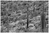 Saguaro cacti and brittlebush in bloom, Rincon Mountain District. Saguaro National Park ( black and white)