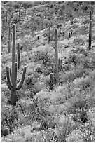 Slope with Saguaro cacti and brittlebush, Rincon Mountain District. Saguaro National Park ( black and white)