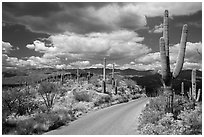 Cactus forest Loop Drive. Saguaro National Park ( black and white)