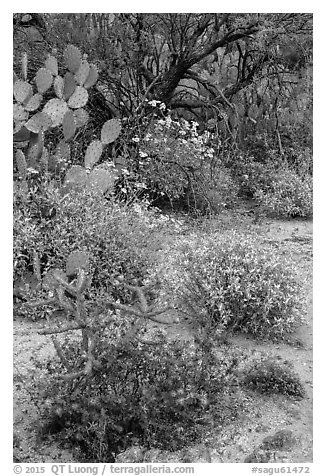 Cactus, brittlebush, and trees, Rincon Mountain District. Saguaro National Park (black and white)