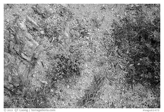 Ground view with tiny flowers and cactus skeleton, Rincon Mountain District. Saguaro National Park (black and white)