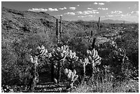 Desert in spring with cholla cactus, Rincon Mountain District. Saguaro National Park ( black and white)
