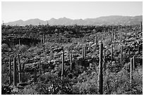 Lush Sonoran desert landscape, Rincon Mountain District. Saguaro National Park ( black and white)