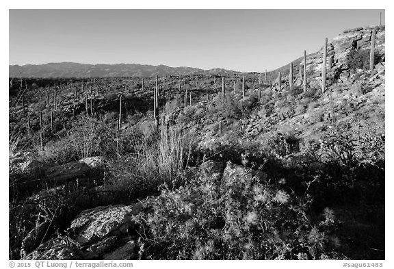 Sonoran desert in bloom, Rincon Mountain District. Saguaro National Park (black and white)