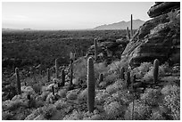 Last light on blooming brittlebush, cactus, and rocky outcrop. Saguaro National Park ( black and white)