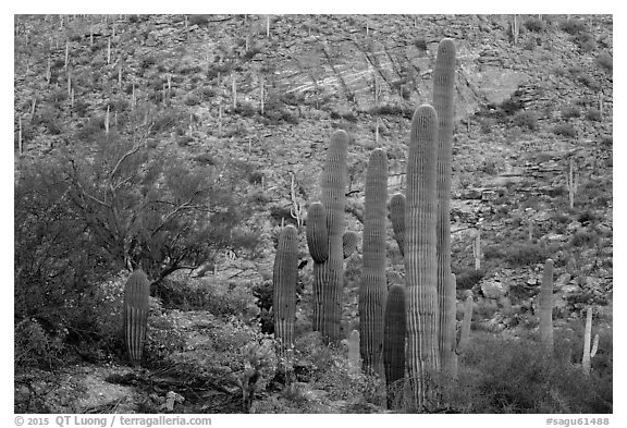 Green saguro cactus and slope painted red by sunset light. Saguaro National Park (black and white)