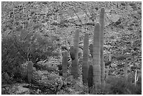 Green saguro cactus and slope painted red by sunset light. Saguaro National Park ( black and white)