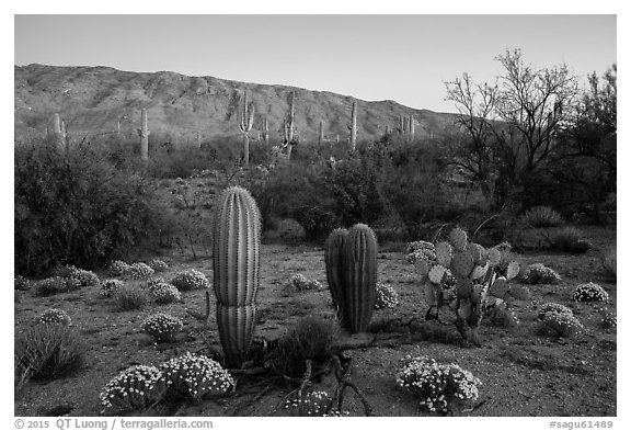 Desert Zinnia flowers, cactus, and Rincon Mountains at sunset. Saguaro National Park (black and white)