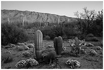 Desert Zinnia flowers, cactus, and Rincon Mountains at sunset. Saguaro National Park ( black and white)