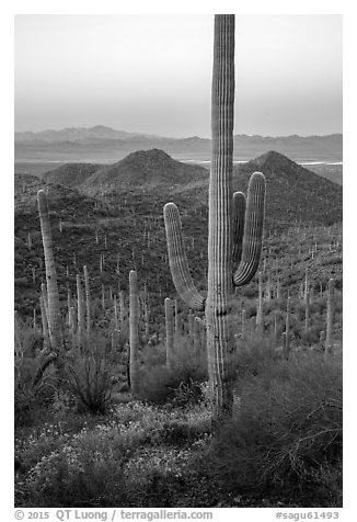 Saguaro cactus and Red Hills at dawn. Saguaro National Park (black and white)