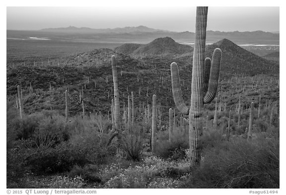 Saguaro cactus forest in the spring from hillside at dawn. Saguaro National Park (black and white)