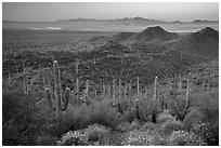 Saguaro cactus forest and Red Hills at sunrise. Saguaro National Park ( black and white)