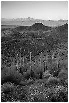 Saguaro cactus forest, Red Hills, and Kit Peak at sunrise. Saguaro National Park ( black and white)