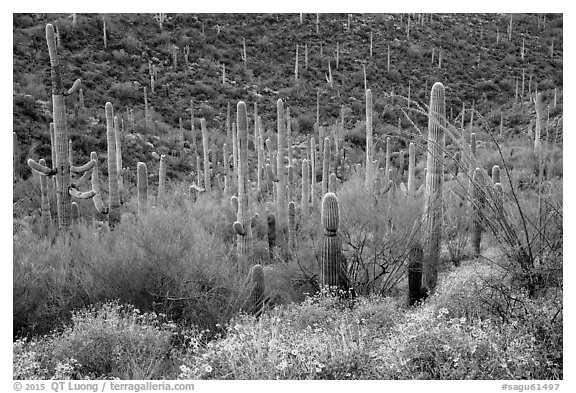 Brittlebush flowers, ocotillo and dense cactus forest. Saguaro National Park (black and white)
