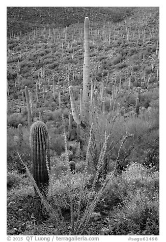 Ocotillo, brittlebush flowers, and cactus forest. Saguaro National Park (black and white)