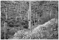 Slopes with saguaro cacti and flowering brittlebush. Saguaro National Park ( black and white)