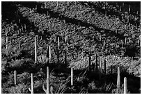 Shadows delineating ridges with saguaro cactus. Saguaro National Park ( black and white)