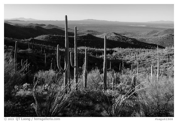 Cactus forest from Tucson Mountains. Saguaro National Park (black and white)
