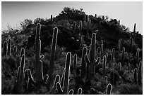 Backlit saguro cacti and hill. Saguaro National Park ( black and white)