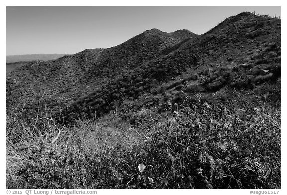 Annual wildflowers and Amole Peak. Saguaro National Park (black and white)