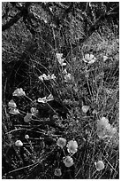 Close-up of poppies and cactus. Saguaro National Park ( black and white)