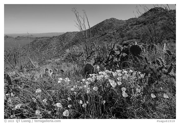 Poppies, cactus, Amole and Wasson Peaks. Saguaro National Park (black and white)