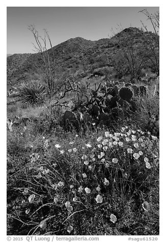 Poppies, cactus, and Tucson Mountains. Saguaro National Park (black and white)