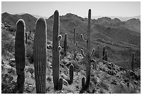 Cactus and Tucson Mountains. Saguaro National Park ( black and white)
