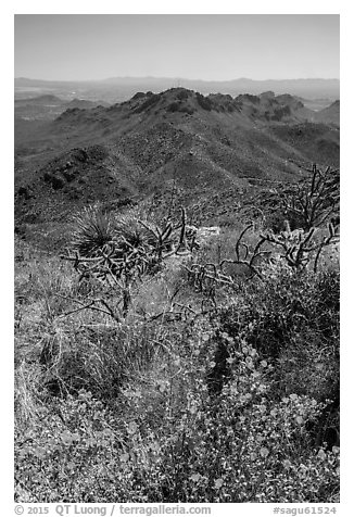 Wildflowers and Tucson Mountains. Saguaro National Park (black and white)