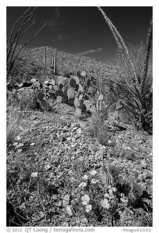 Blooming poppies, cacti, ocotillo, and peak. Saguaro National Park (black and white)