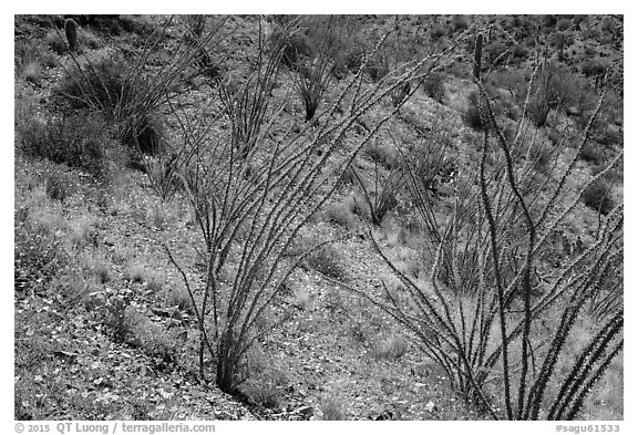 Ocotillo and desert floor carpeted with annual flowers. Saguaro National Park (black and white)