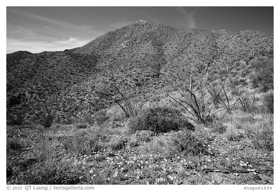 Wildflower carpet and Tucson mountains. Saguaro National Park (black and white)