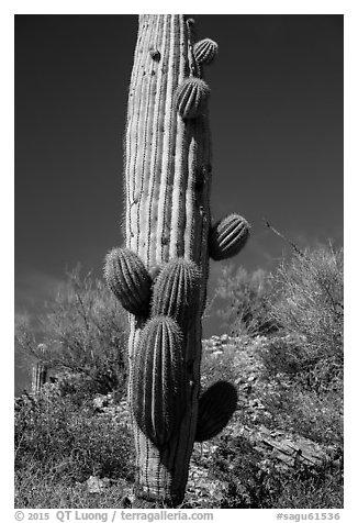 Saguaro cactus with many short arms. Saguaro National Park (black and white)