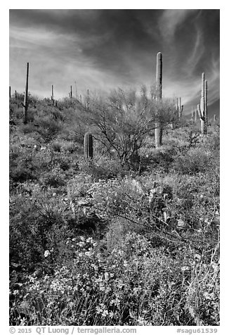 Brittlebush and saguaro on slope. Saguaro National Park (black and white)